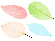 Set of four color leaf skeletons Royalty Free Stock Photos