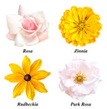 Set of four colors: rose, zinnia, rudbeckia, park rose. A set of four colors: a tea rose, yellow zinnia, yellow rudbeckia, a pink park rose. Flowers on a white Stock Image