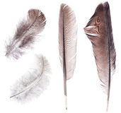 Set of four dark feathers isolated on white Stock Photo