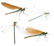 Set of four dragonflies Stock Photos