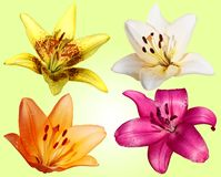 Set of four flowers lilies Stock Images