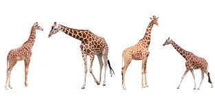 Set from four giraffes. In the different poses isolated on a white background Stock Photos