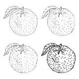 Set of four Hand Drawn Orange Fruits Vector royalty free illustration