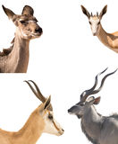 Set of four headshots of different antelopes Royalty Free Stock Photo