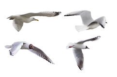 Set of four isolated seagulls Royalty Free Stock Photos