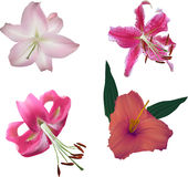 Set of four isolated on white pink lily blooms Royalty Free Stock Photos