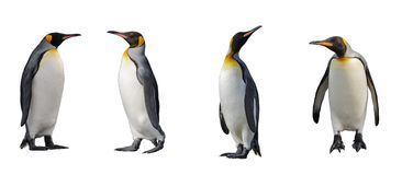 King penguins isolated stock images