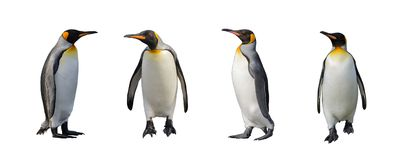King penguins isolated stock photos