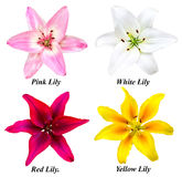 Set of four lily flowers. A set of four pink, white, red and yellow lilies. Flowers on a white background with signed names Stock Images