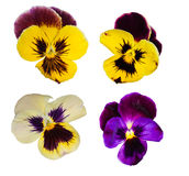 Set of four pansy flowers Stock Images