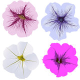 Set of four petunia flowers. White, pink, blue, magenta Stock Photography