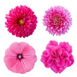 Set four pink flowers  isolated on white background. Set four pink flowers. Pink aster, dahlia, lavater, petunia isolated on white background Stock Photo