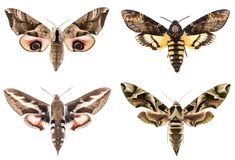 Set of four Sphingidae hawk-moths. Night moths - Smerinthus ocellatus, Daphnis neri, Hyles gallii, Acherontia atropos isolated on white royalty free stock photos