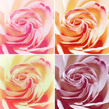 Set of Four Variants: Red Rose Flowers. Set of Four Variants: Closeup Macro Shot of Red Rose Flowers Royalty Free Stock Photography