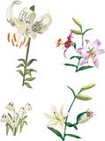 Set with four white lily flowers Stock Image