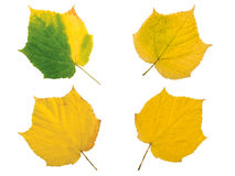 Set of four yellow autumn leaves Royalty Free Stock Photo