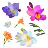 Set of freesia flowers for your design. Vector isolated pink, white and blue freesia flowers and branches for your design Stock Photography
