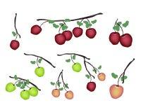 Set of Fresh Apple on White Background Royalty Free Stock Photo