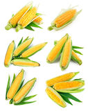 Set fresh corn with green leaf harvest Stock Photography