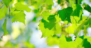 Set of fresh green birch tree leaves backlit stock video