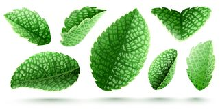 Set of fresh green mint leaves isolated. Set of fresh green mint leaves. Main natural organic ingredient for refreshing drinks like lemonade or mojito. Isolated royalty free illustration