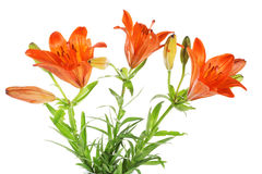 Set of  orange lilly. Summer flowers Stock Images