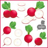 Set of fresh red radish with green leaves in various cuts and styles, vector illustration. Format stock illustration
