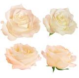 Set of fresh roses isolated Stock Photo