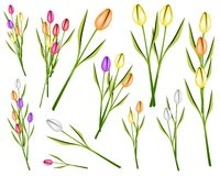 Set of Fresh Tulip Flowers on White Background. Beautiful Flower, An Illustration Collection of Lovely Spring Colorful Tulip Flowers and Tulip Bouquet Isolated Stock Image