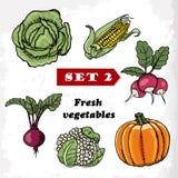 Set 2 Fresh vegetables cabbage, corn, radish, pumpkin, cauliflower and beets. Vector illustration Stock Photos