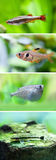 Set of freshwater aquarium fishes. White Cloud Mountain minnow fish, Rosy Tetra, Flying heavily-keeled body. Gasteropelecus sternicla, Otocinclus macrospilus stock photography