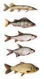 Set of freshwater fish. Isolated on white Royalty Free Stock Photography