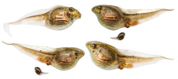 Set of frog tadpoles close up isolated on white Royalty Free Stock Images