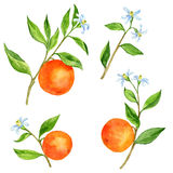 Set of fruit tree branches with flowers, leaves and oranges