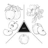 Set of fruits: whole apples, half apple and a slice of apple. Blooming apple trees. Vintage style. Hand drawn sketch on white back. Ground. Design elements for vector illustration
