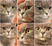 Set of funny cat face. Funny face of scottish fold cat with big orange eyes. Funny cat stickers. Royalty Free Stock Photos