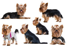 Set of Funny Yorkshire Terriers Stock Photos