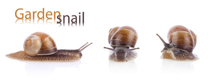 Set of garden snail (Helix aspersa) Royalty Free Stock Photos