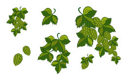 Set; Garland Of Hops With Leaves And Cones, Isolated. Vector  Royalty Free Stock Photos