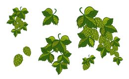 Set; Garland Of Hops With Leaves And Cones, Isolated. Vector Ill Stock Photo
