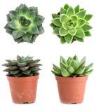 Set garnek rośliny Echeveria różni typ odizolowywający na białym b fotografia stock