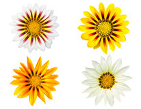 Set of gazania flowers isolated on white background Royalty Free Stock Photo