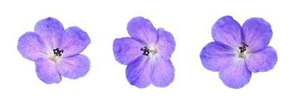 Set of geranium pratense flowers. Isolated on white stock photography
