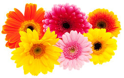 Set of Gerbera Daisy flower Royalty Free Stock Photography