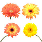 Set of Gerbera flower. Stock Image