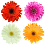 Set of gerbera flowers Royalty Free Stock Images