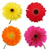 Set of Gerbera flowers. Stock Image
