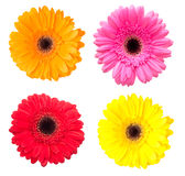 Set of gerbera flowers isolated on white Stock Photo