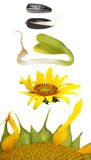 Set germination of sunflower isolated on white Royalty Free Stock Image