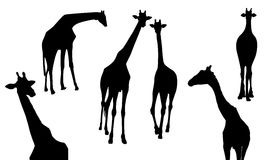 Set of giraffe silhouette. Wild animal,  illustration isolate on white background Royalty Free Stock Images